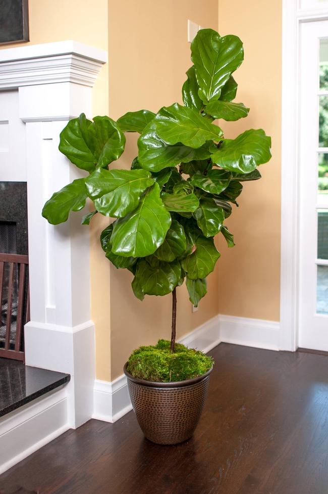 Ficus lyrata (Fiddleleaf fig), relative of Ficus benjamina (plantz.com)