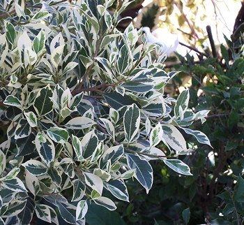 Ficus microcarpa, relative of Ficus benjamina (pinterest.com)