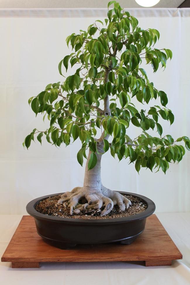 Ficus bonsai (kuromatsubonsai.com)