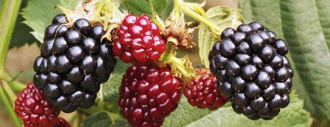 Blackberries (berkeleywellness.com)