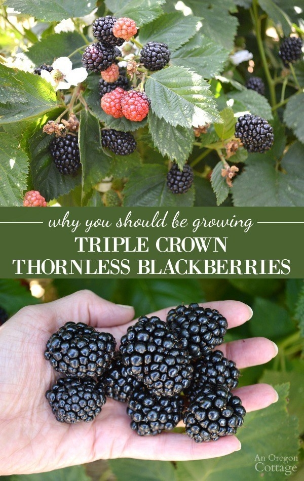 Triple Crown thornless blackberry (anoregoncottage.com)