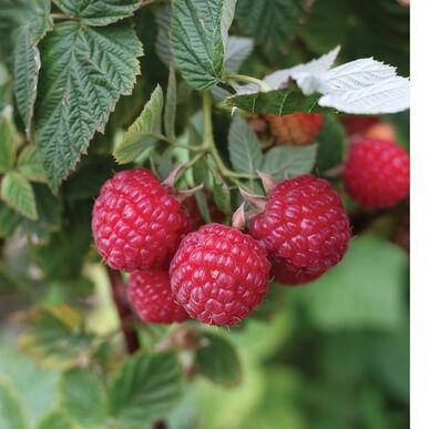 Nova raspberry, widely available from many nurseries (johnnyseeds.com)