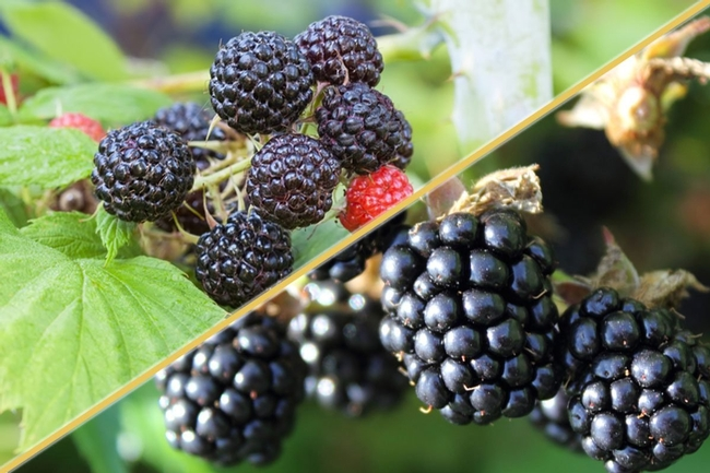 Showing black raspberries and blackberries (tasteofhome.com)