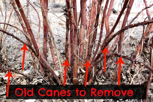 Pruning berry canes--this is an illustration. A complete guide can be found at The California Garden Web website. (foodstorageandsurvival.com)