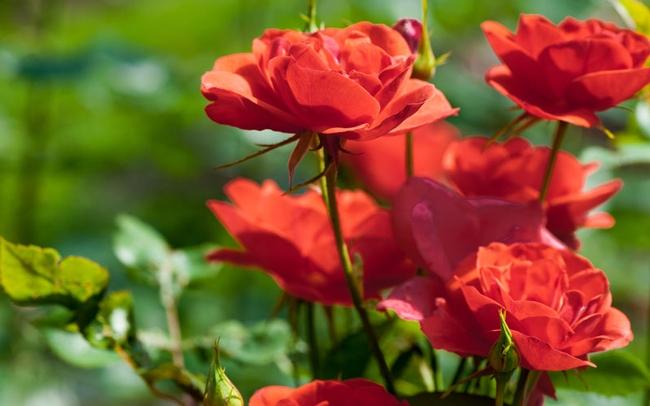 Roses. (gardenloversclub.com)