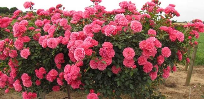 Floribunda rose, often clusters of roses on a single stem. (hablemosdeflores.com)