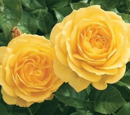 Julia Child rose. (whiteflowerfarm)