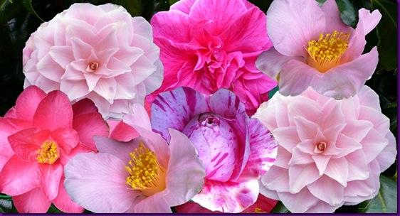 Camellia variety.  (jeannisart.blogspot.com)