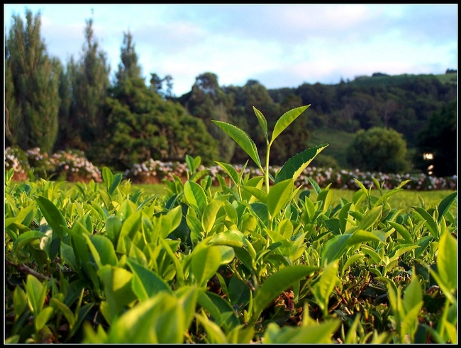 Camellia is part of the tea family.  This is a tea plantation.  (flickr.com)