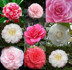 Colors and blossom shapes of camellias. (ebay.com)