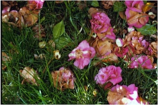 Clean up fallen camellia blooms right away to minimize camellia diseases.  (ncsupdicblog.blogspot.com)