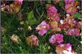 Clean up fallen camellia blooms right away to minimize camellia diseases.  (ncsupdicblog.blogspot.com)