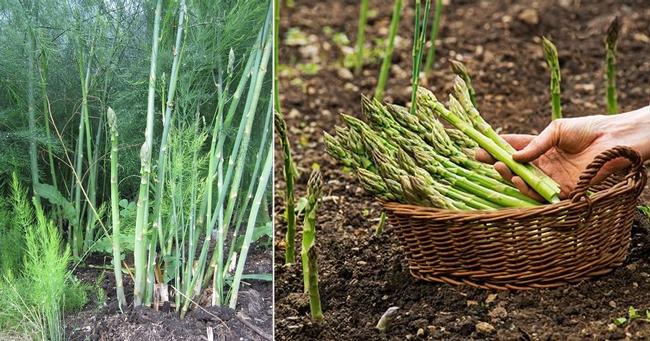 Asparagus. (indiagardening.com)