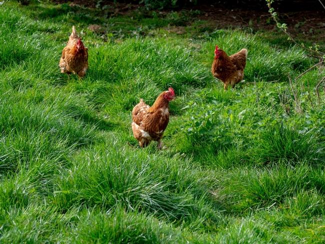 Chickens. (brett-jordan-unsplash)