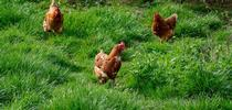Chickens. (brett-jordan-unsplash) for Napa Master Gardener Column Blog