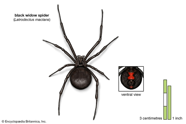 Black widow spider. She will leave you alone if you leave her alone.(britannica.com)