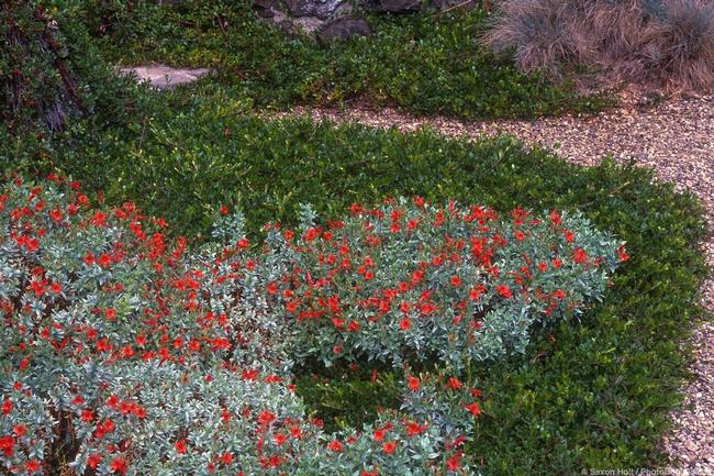 California native plant ground cover. (summer-dry.com)