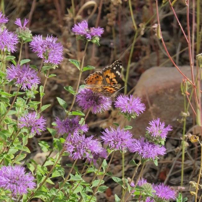 Butterfly mint bush (pinterest.jp)