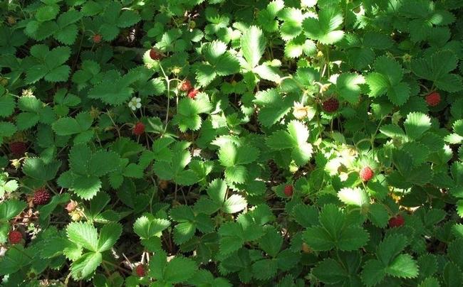 Wood strawberry. (laspilitas.com)