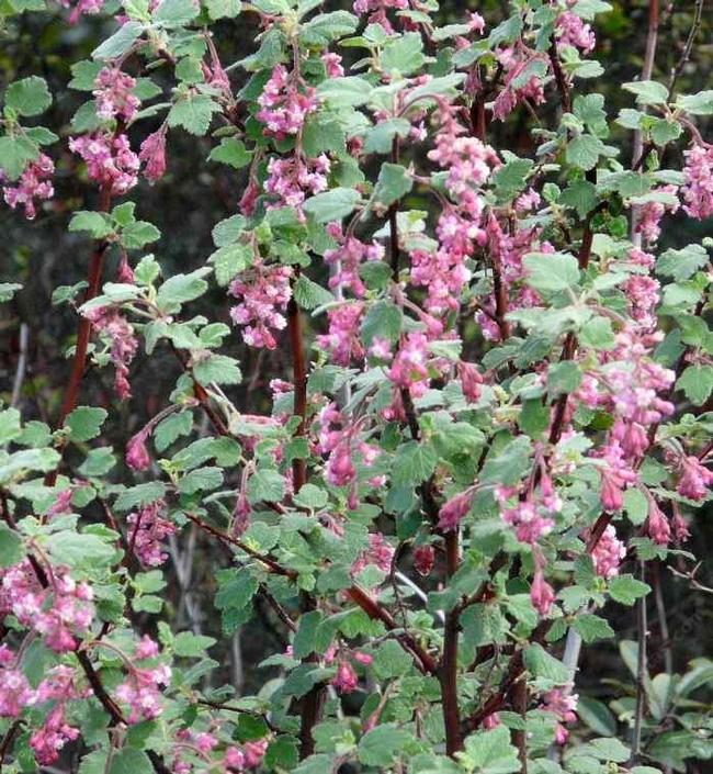Ribes spp. (laspilitas.com)