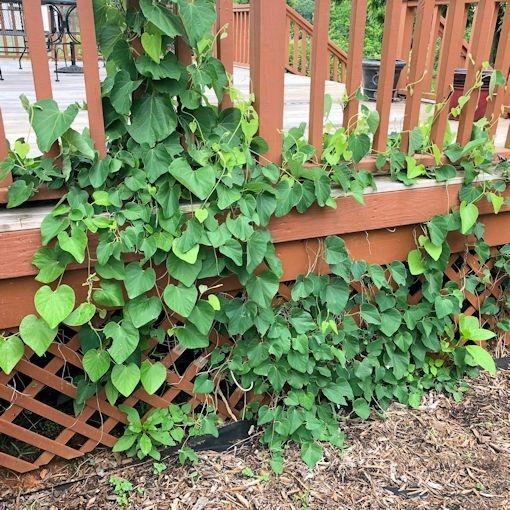 Pipevine, leaves. (joyfulbutterfly.com)