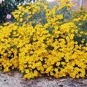 Mexican marigold. (pinterest.com)