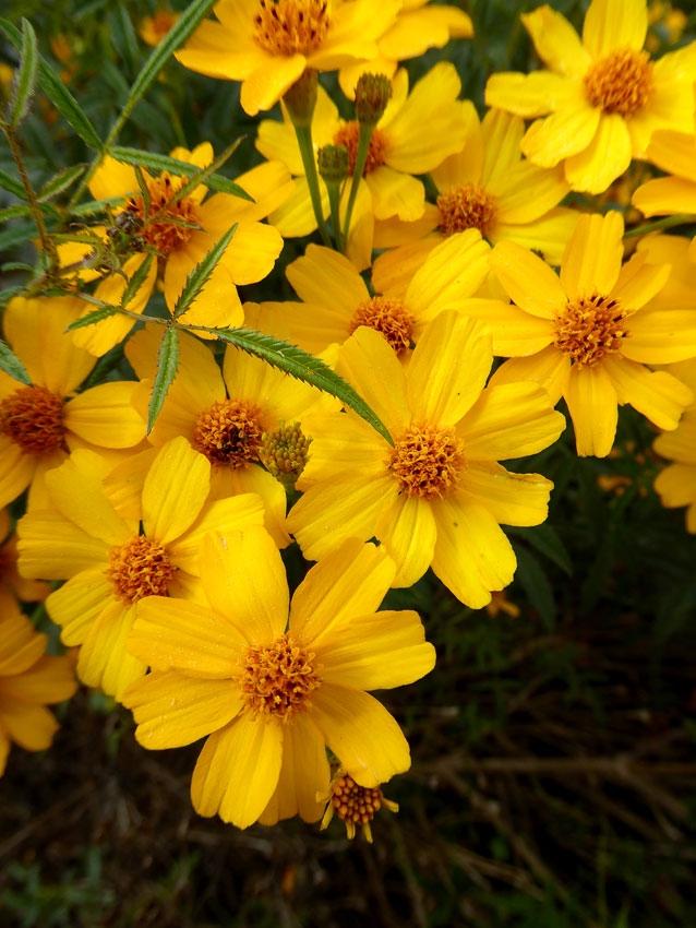 Mexican marigold closeup (anniesannuals.com)