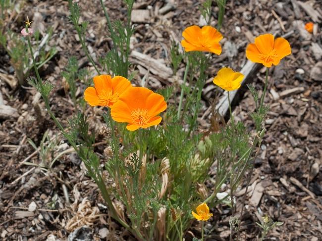 California poppy. (wikipedia.com)