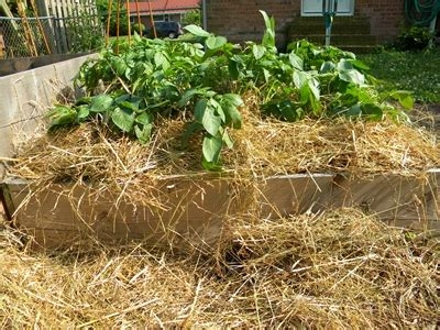 Hilling potatoes. (veggiegardener.com)
