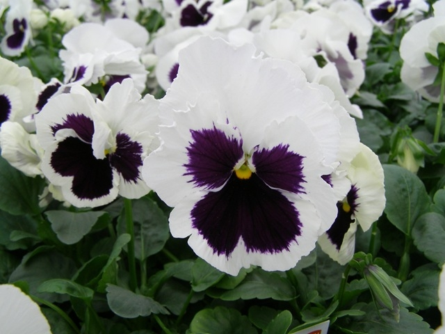 Some pansies have faces.  (parkswholesaleplants.com)