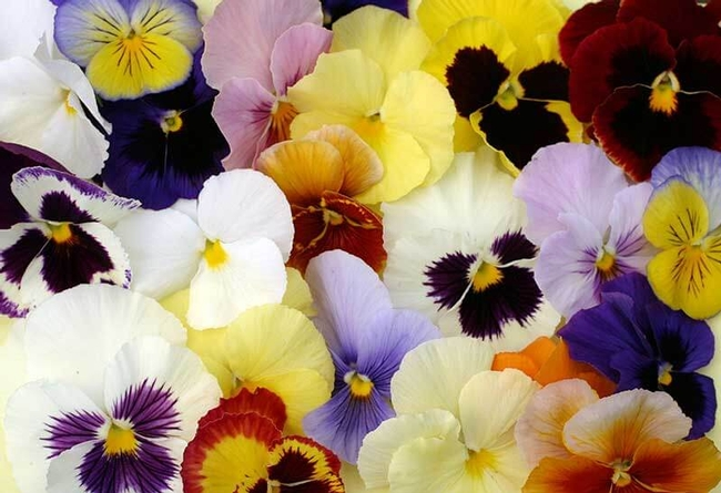 The colors of pansies. (pennington.com)