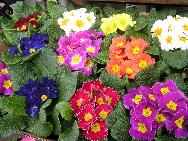 Primroses pack punch. (holicoffee.com)