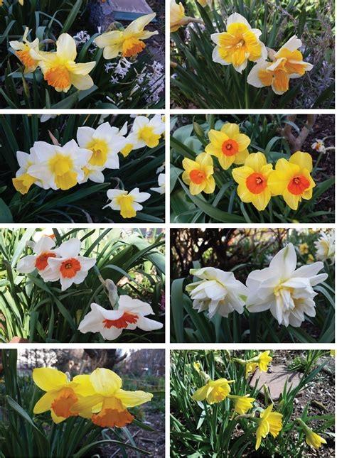 Daffodil variety. (laguardiacornergarden.com)