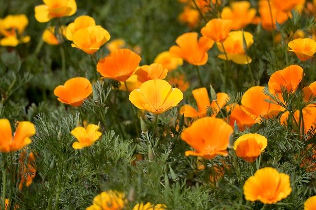 California poppy. (greenmylife.in)