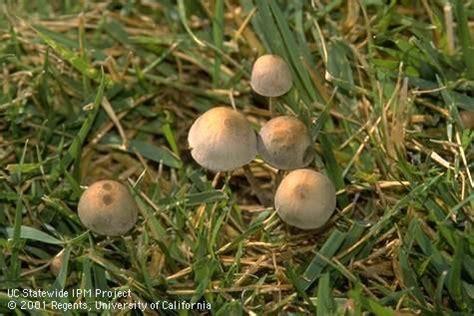 Fungi in lawn. (UC IPM)