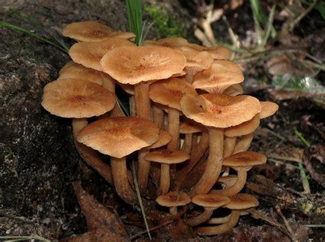 Armillaria tabescens. (ultimate-mushroom.com)