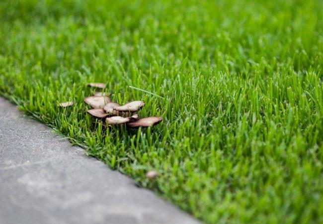 Mushrooms in lawn. (bobvila.com)