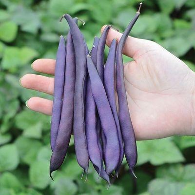Violet Podded stringless bush bean. (pinterest.com)