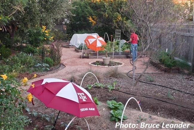 Provide shade when needed. (centraltexasgardener.org)