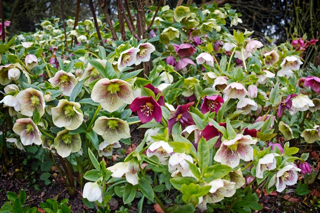 Hellebores.  (thetimes.co.uk)