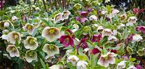 Hellebores.  (thetimes.co.uk) for Napa Master Gardener Column Blog