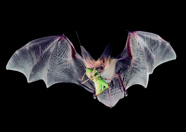 Bats eat tasty grasshoppers (ucanr.edu)