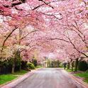 Flowering trees. (mckinleyarborists.com)
