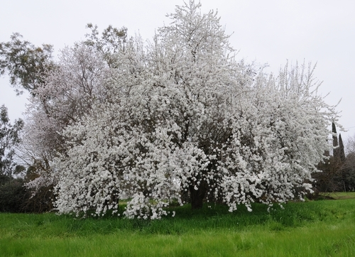 Almond tree. (ucanr.edu)