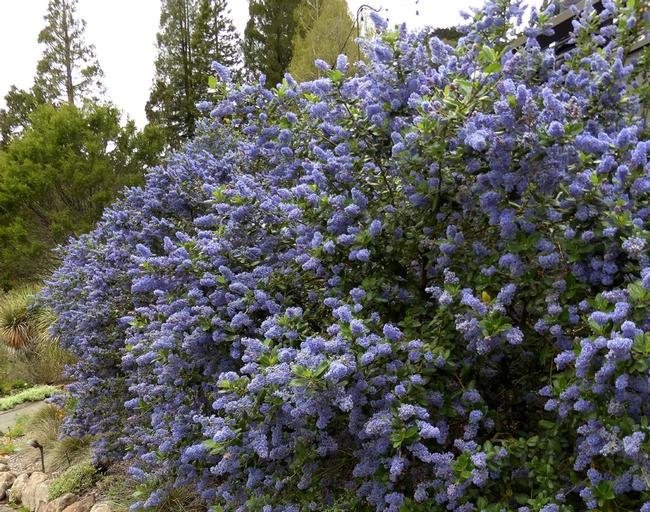 . . . . or left as a shrub. (anniesannuals.com)