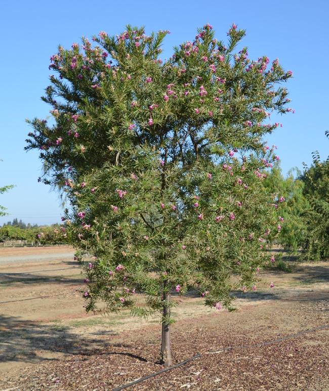 Desert catalpa. (selectree.calpoly.edu)