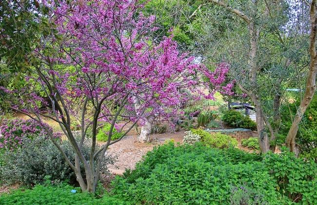 Western redbud. (gardenia.net)