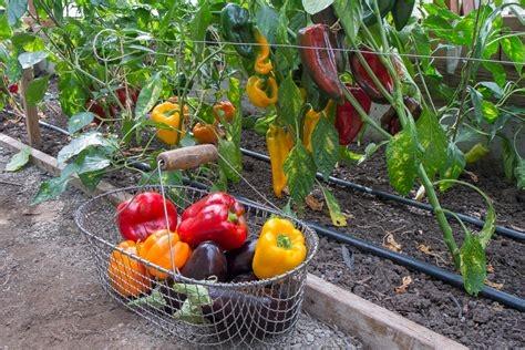 Still time to plant peppers. (livetradingnews.com)