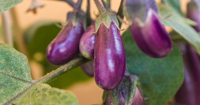 Still time to plant eggplant. (thegardenmagazine.com)