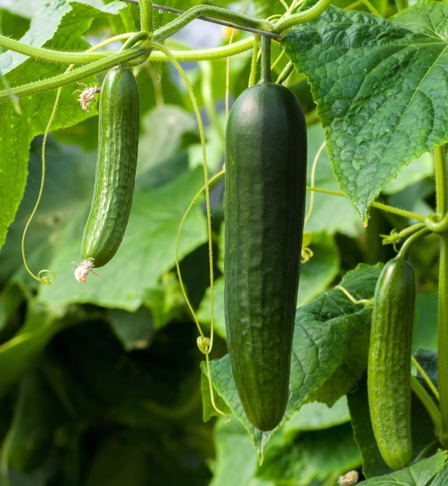 Cukes, still time. (nature-and-garden.com)
